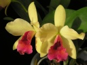 """- Lc.Gold Digger """"Orchid Jungel"""""""