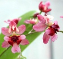 - Oncidium Twinkle 'Red Fantasy'